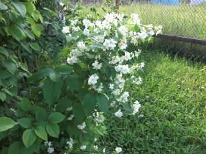 Ветка цветущего жасмина