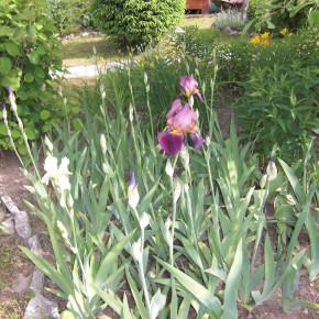 Мой сад. Ирисы.